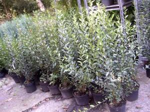 Winterharte und Immergrüne Heckenpflanzen