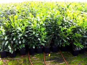 Hecken pflanzen kaufen -Prunus laurocerasus `Novita´, Kirschlorbeer